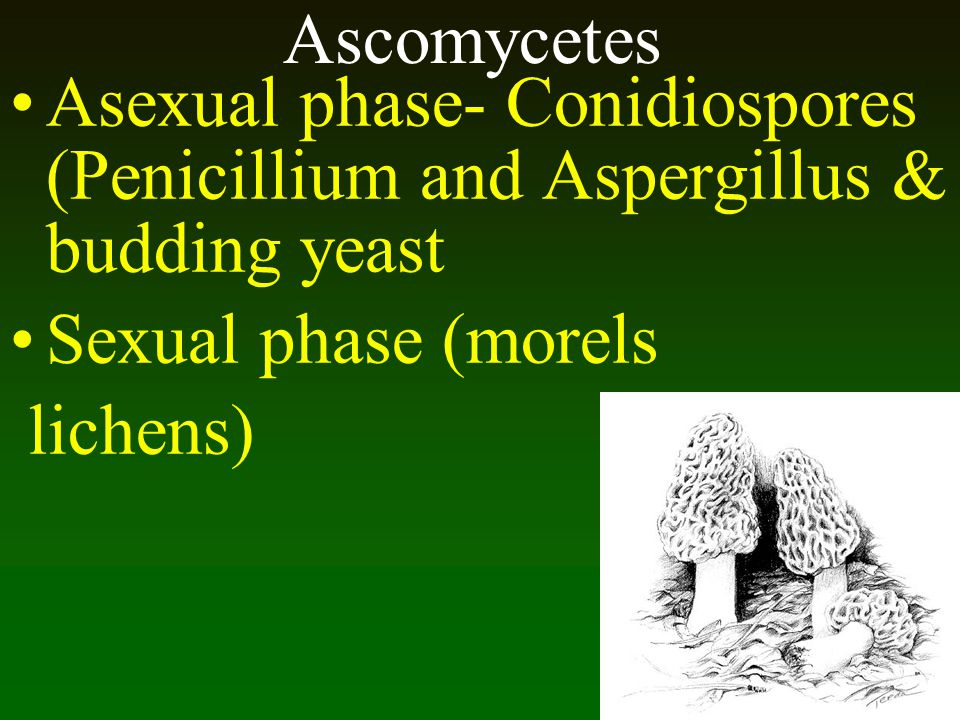Ascomycetes Asexual phase- Conidiospores (Penicillium and Aspergillus & budding yeast. Sexual phase (morels.
