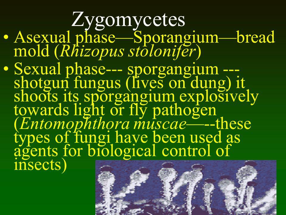 Zygomycetes Asexual phase—Sporangium—bread mold (Rhizopus stolonifer)