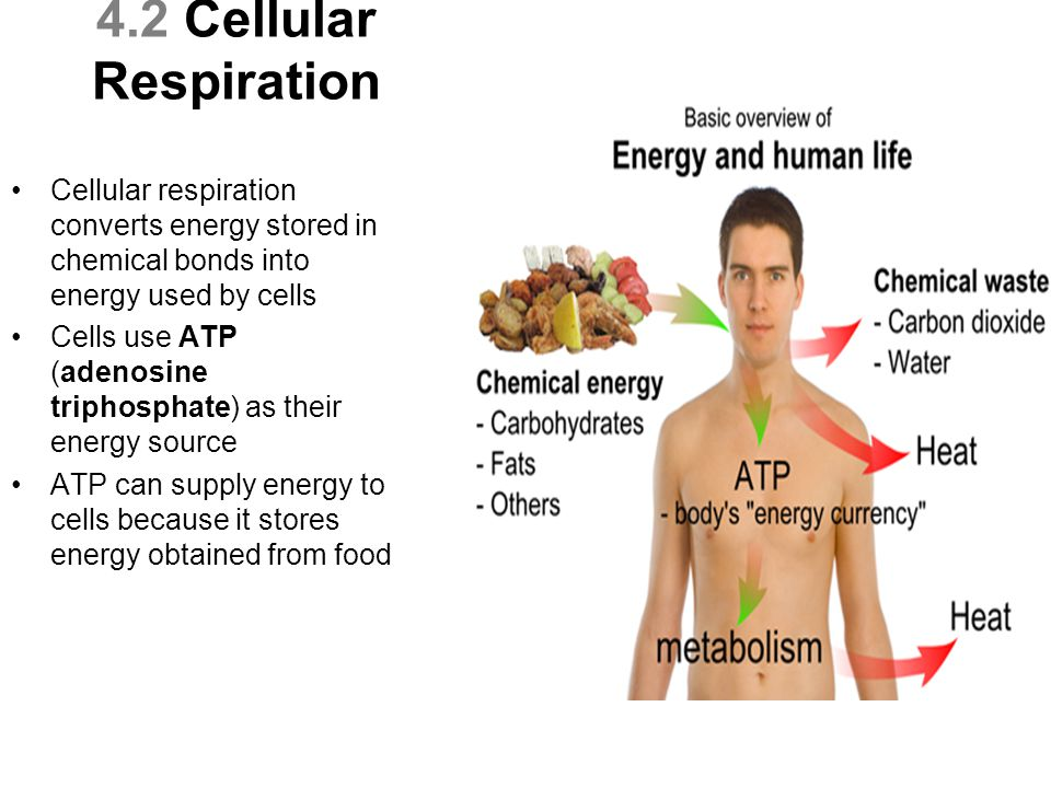 4.2 Cellular Respiration Cellular respiration converts energy stored in chemical bonds into energy used by cells.