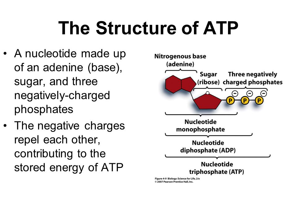 The Structure of ATP A nucleotide made up of an adenine (base), sugar, and three negatively-charged phosphates.