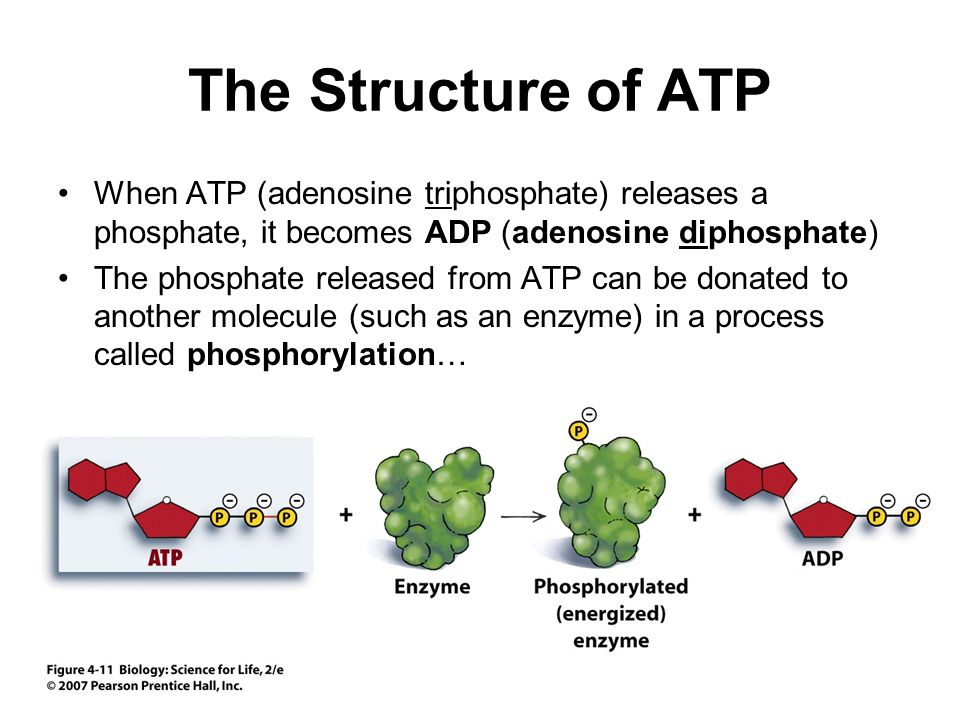 The Structure of ATP When ATP (adenosine triphosphate) releases a phosphate, it becomes ADP (adenosine diphosphate)