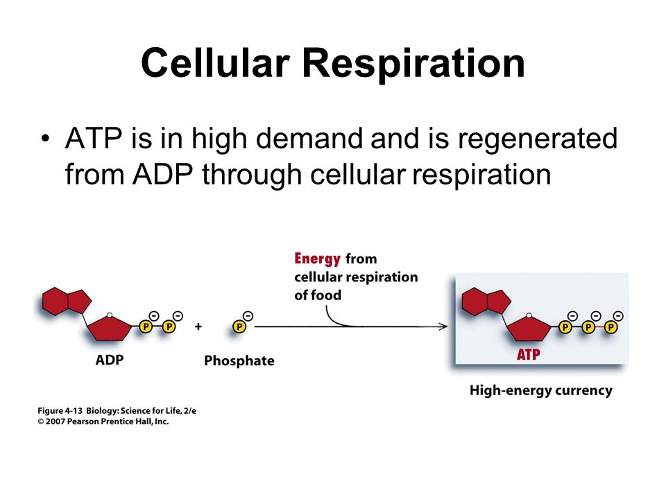 Cellular Respiration ATP is in high demand and is regenerated from ADP through cellular respiration.