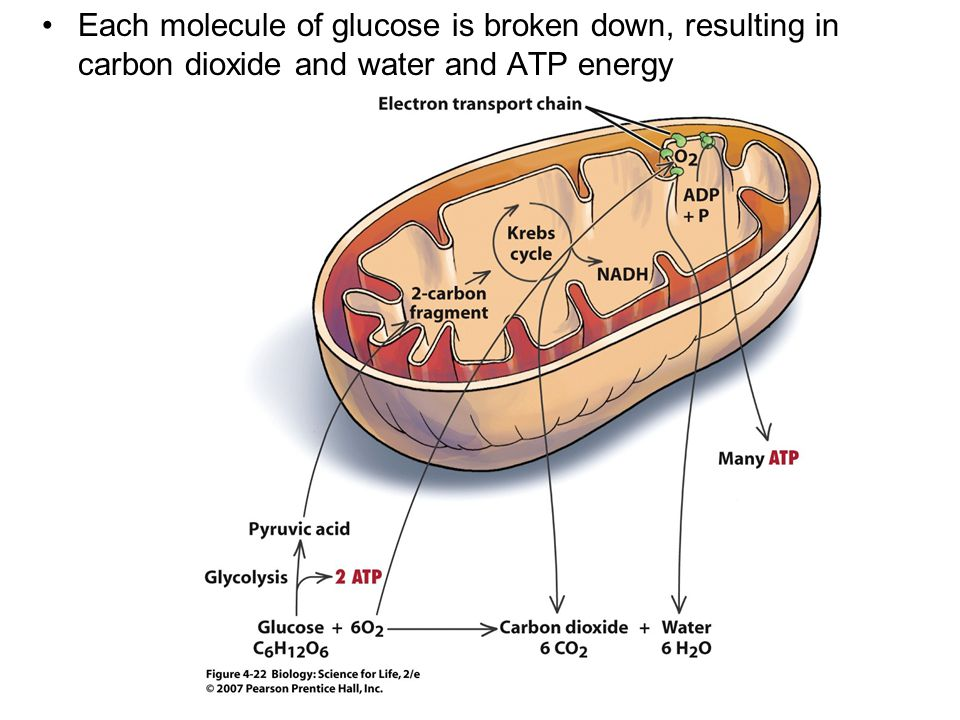 Each molecule of glucose is broken down, resulting in carbon dioxide and water and ATP energy