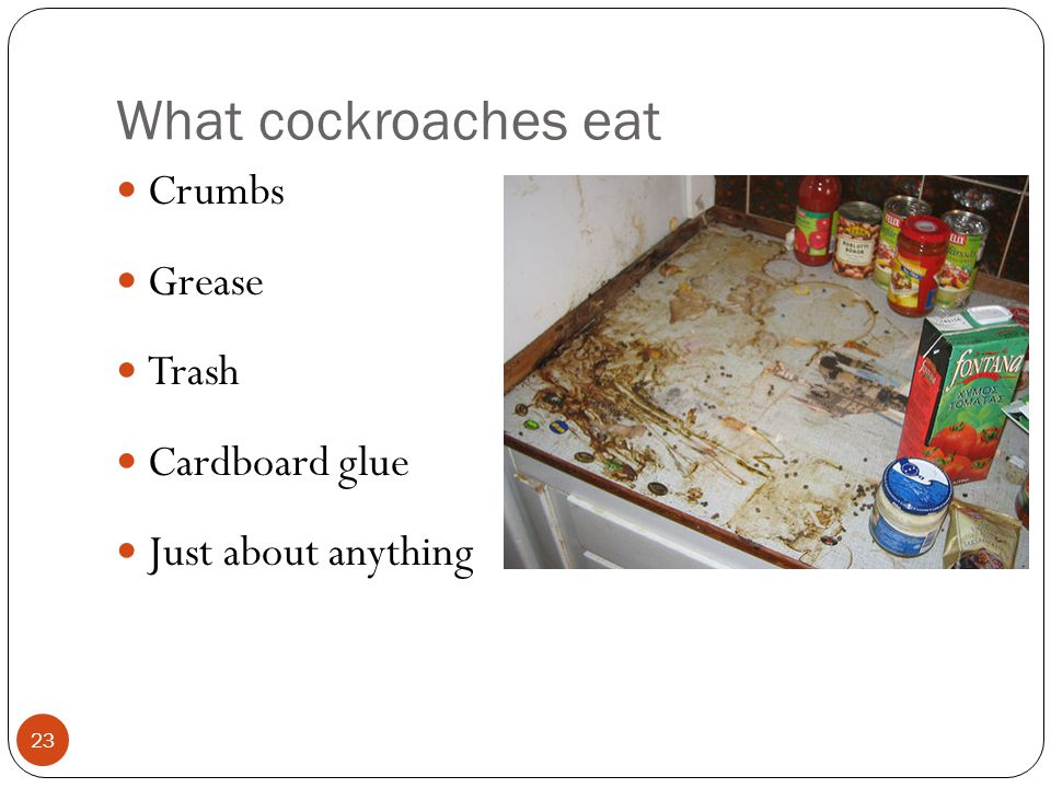 What cockroaches eat Crumbs Grease Trash Cardboard glue