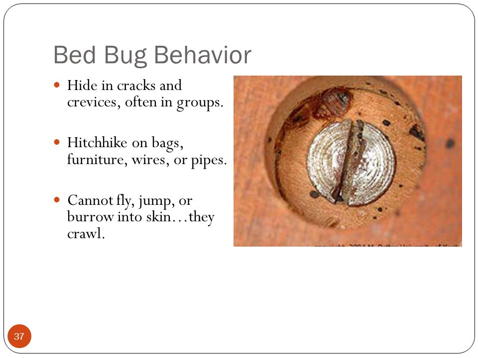 Bed Bug Behavior Hide in cracks and crevices, often in groups.