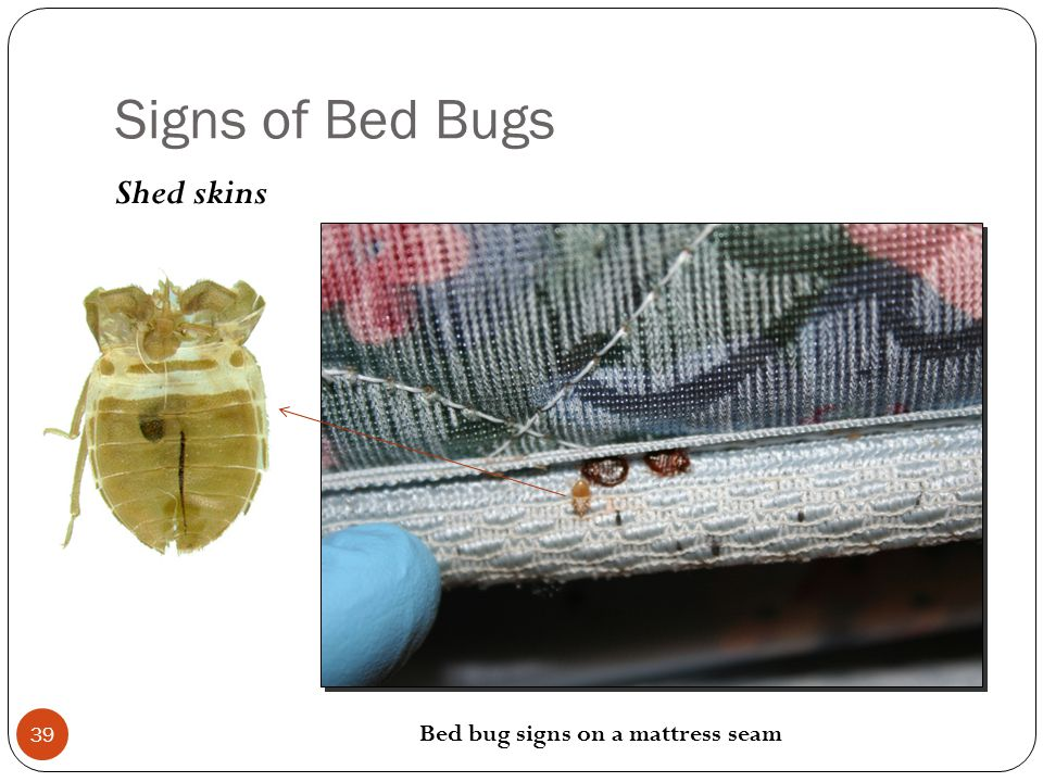 Signs of Bed Bugs Shed skins Bed bug signs on a mattress seam