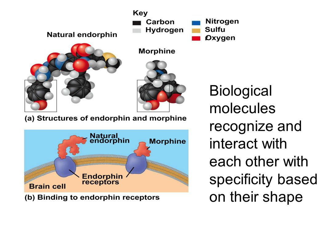 Biological molecules recognize and interact with each other with specificity based on their shape