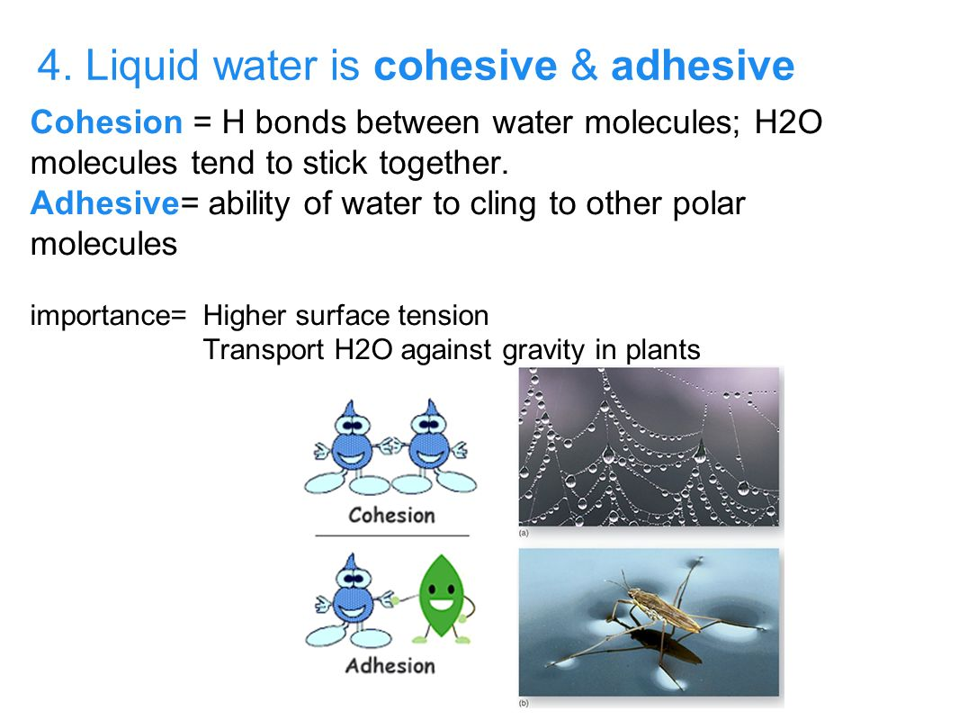 4. Liquid water is cohesive & adhesive