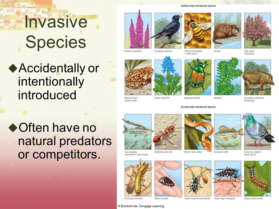 Invasive Species Accidentally or intentionally introduced