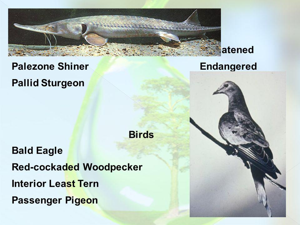 Fish Blackside Dace. Threatened Palezone Shiner. Endangered. Pallid Sturgeon. Birds. Bald Eagle.