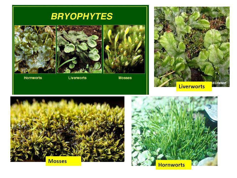 Liverworts Mosses Hornworts