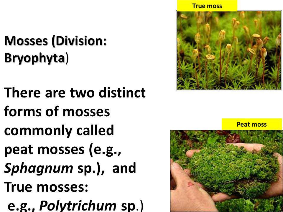 There are two distinct forms of mosses commonly called
