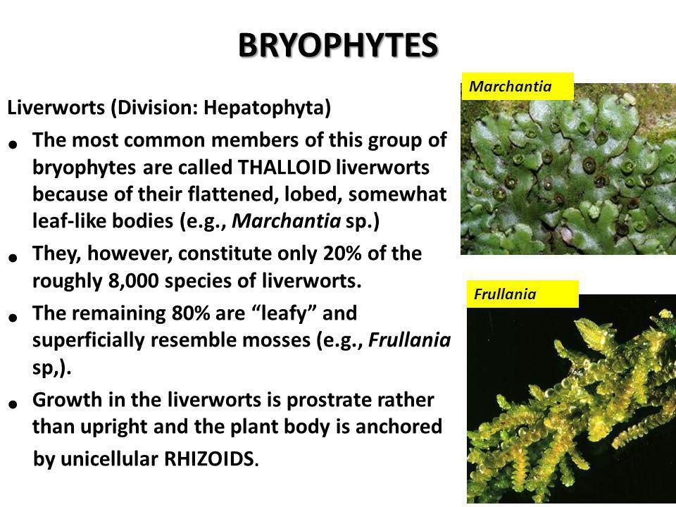 BRYOPHYTES Liverworts (Division: Hepatophyta)