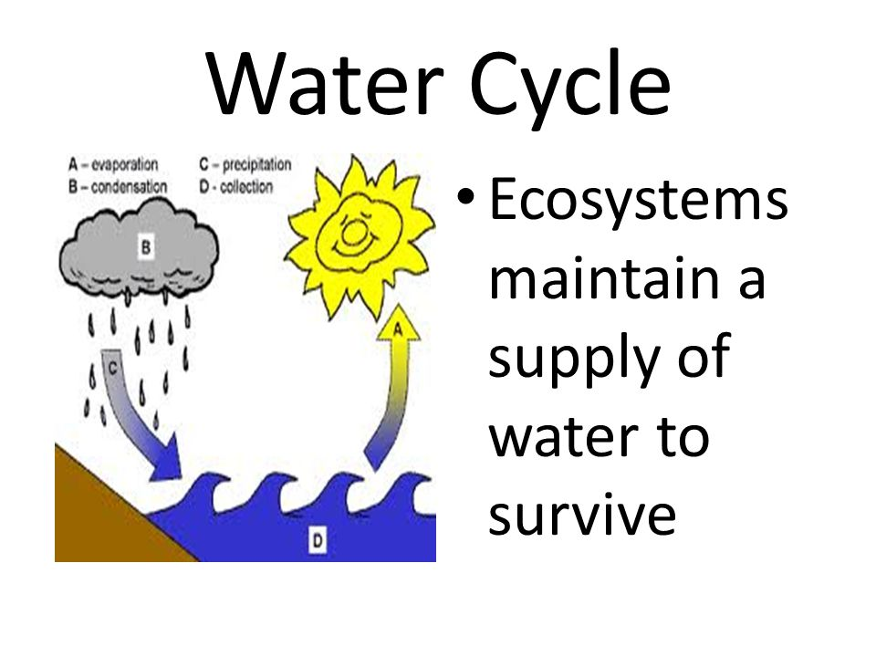 Water Cycle Ecosystems maintain a supply of water to survive
