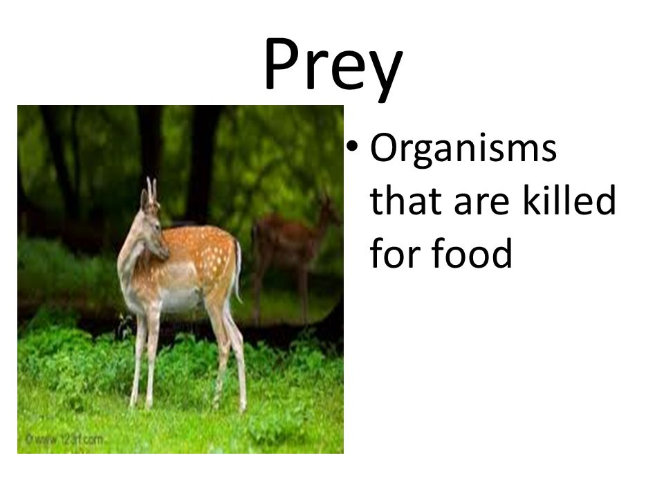 Prey Organisms that are killed for food