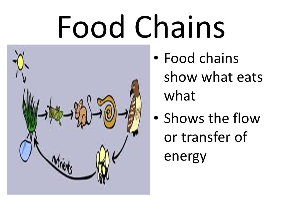Food Chains Food chains show what eats what