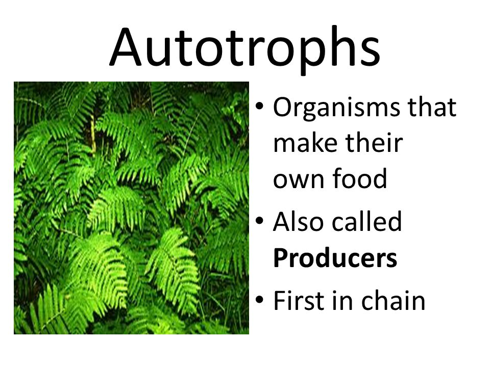 Autotrophs Organisms that make their own food Also called Producers