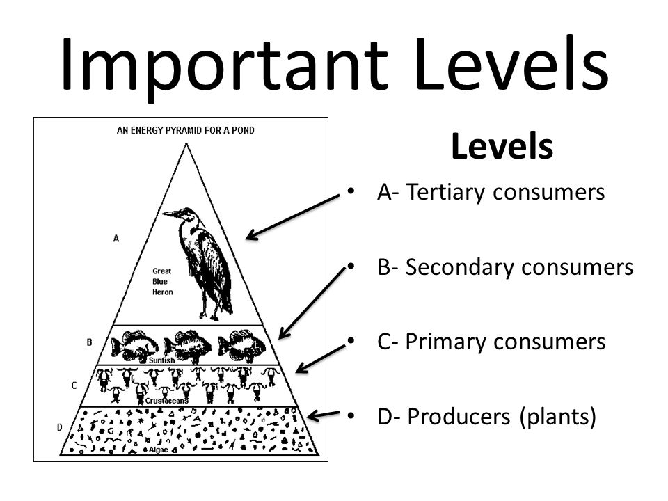 Important Levels Levels A- Tertiary consumers B- Secondary consumers
