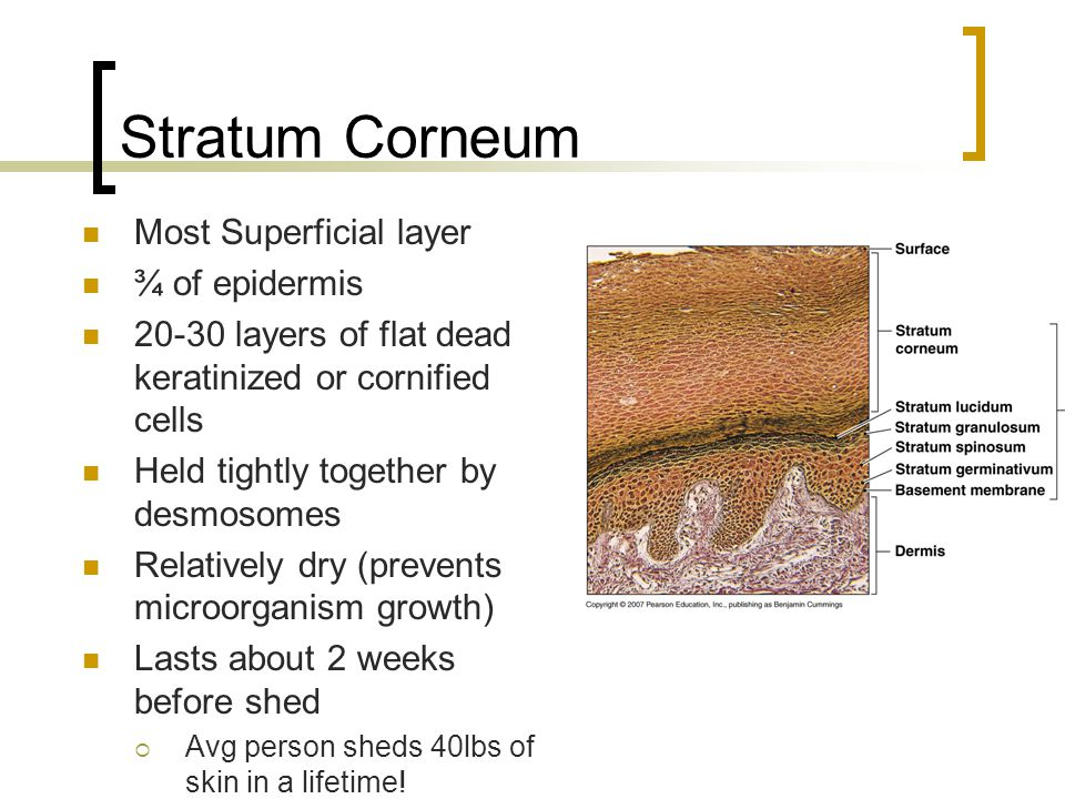 Stratum Corneum Most Superficial layer ¾ of epidermis