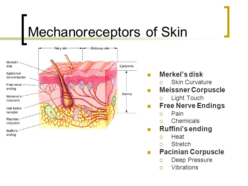 Mechanoreceptors of Skin