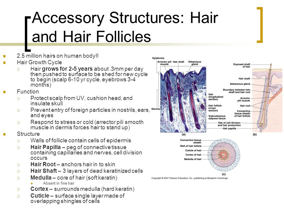 Accessory Structures: Hair and Hair Follicles