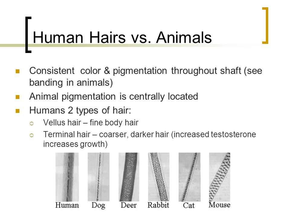Human Hairs vs. Animals Consistent color & pigmentation throughout shaft (see banding in animals) Animal pigmentation is centrally located.