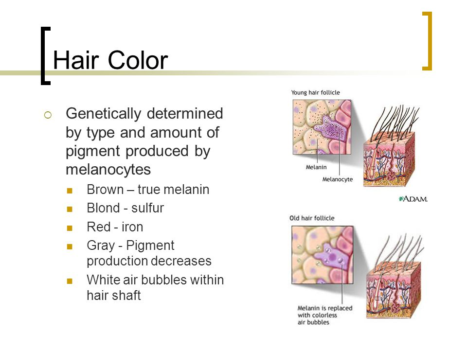 Hair Color Genetically determined by type and amount of pigment produced by melanocytes. Brown – true melanin.