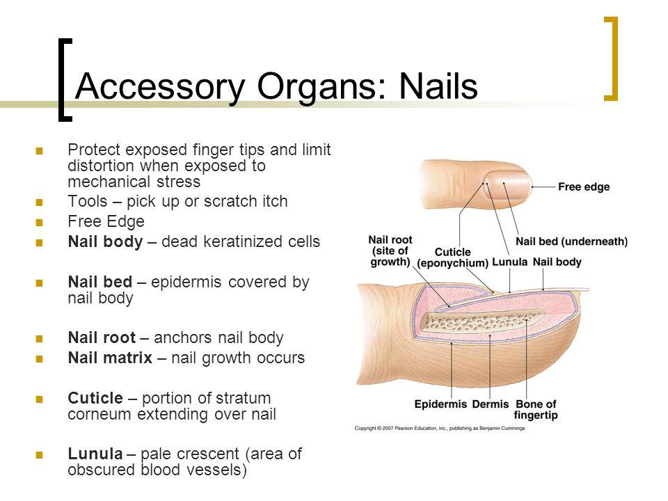 Accessory Organs: Nails