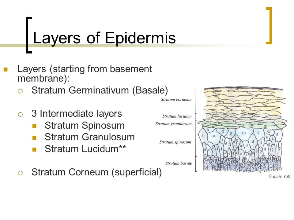 Layers of Epidermis Layers (starting from basement membrane):