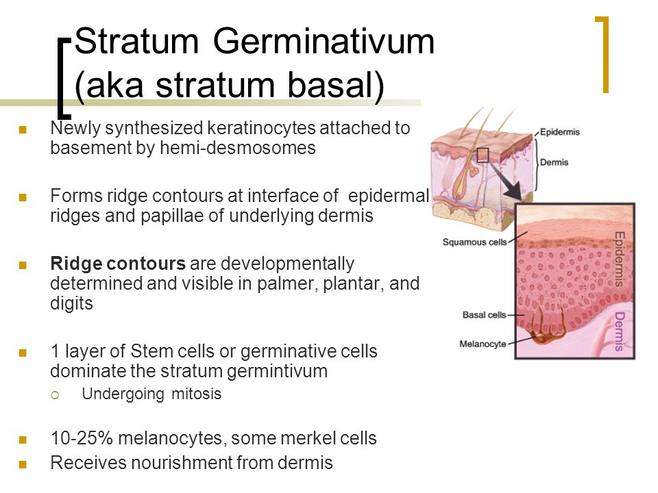 Stratum Germinativum (aka stratum basal)