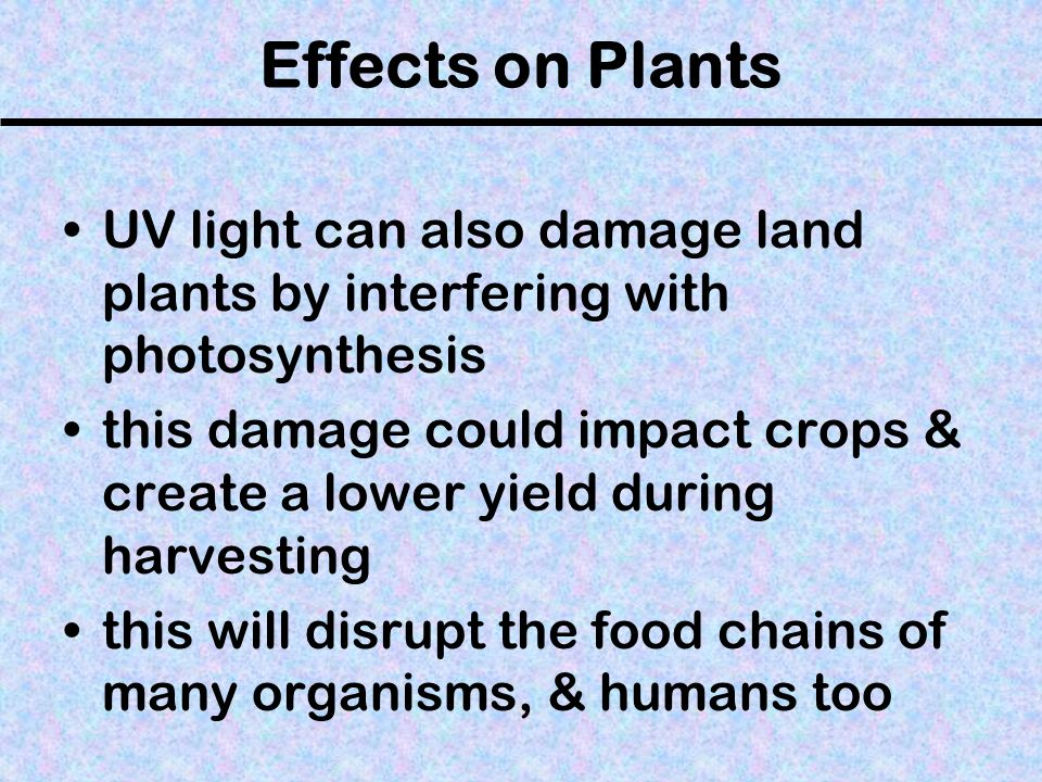 Effects on Plants UV light can also damage land plants by interfering with photosynthesis.