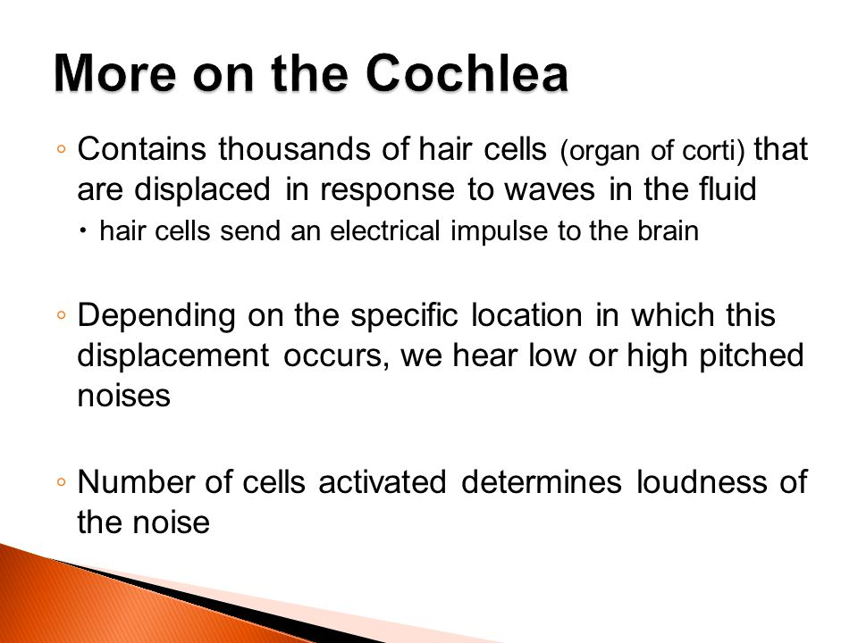 More on the Cochlea Contains thousands of hair cells (organ of corti) that are displaced in response to waves in the fluid.
