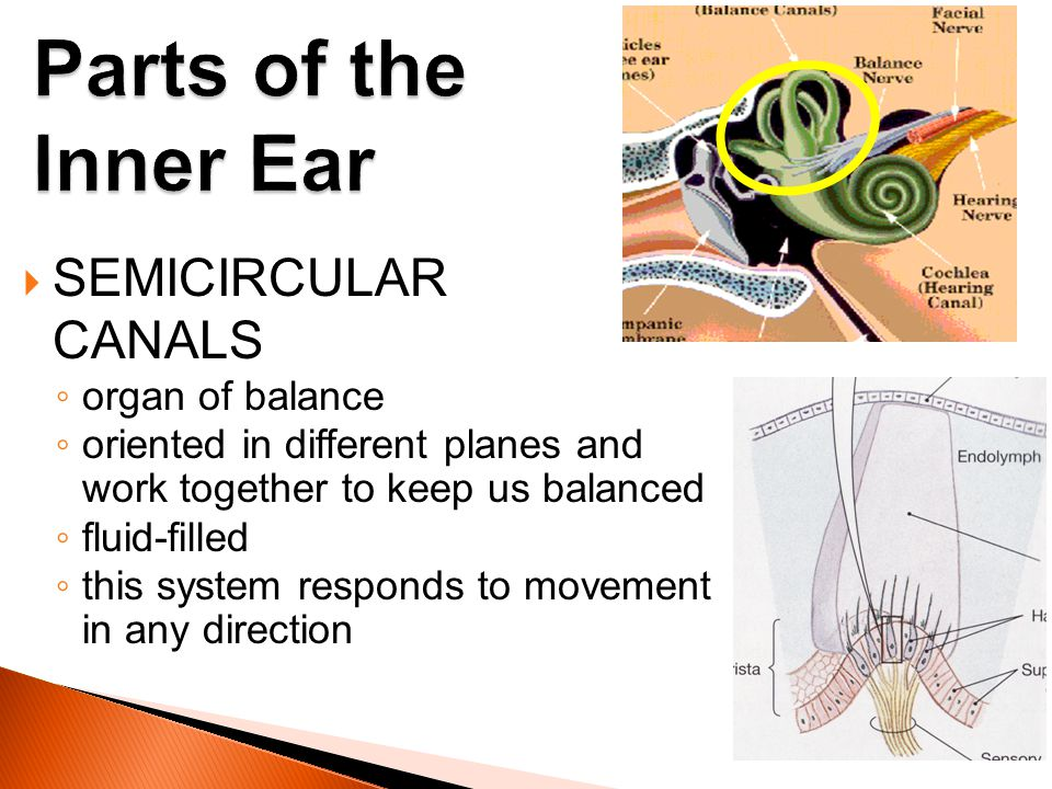 Parts of the Inner Ear SEMICIRCULAR CANALS organ of balance