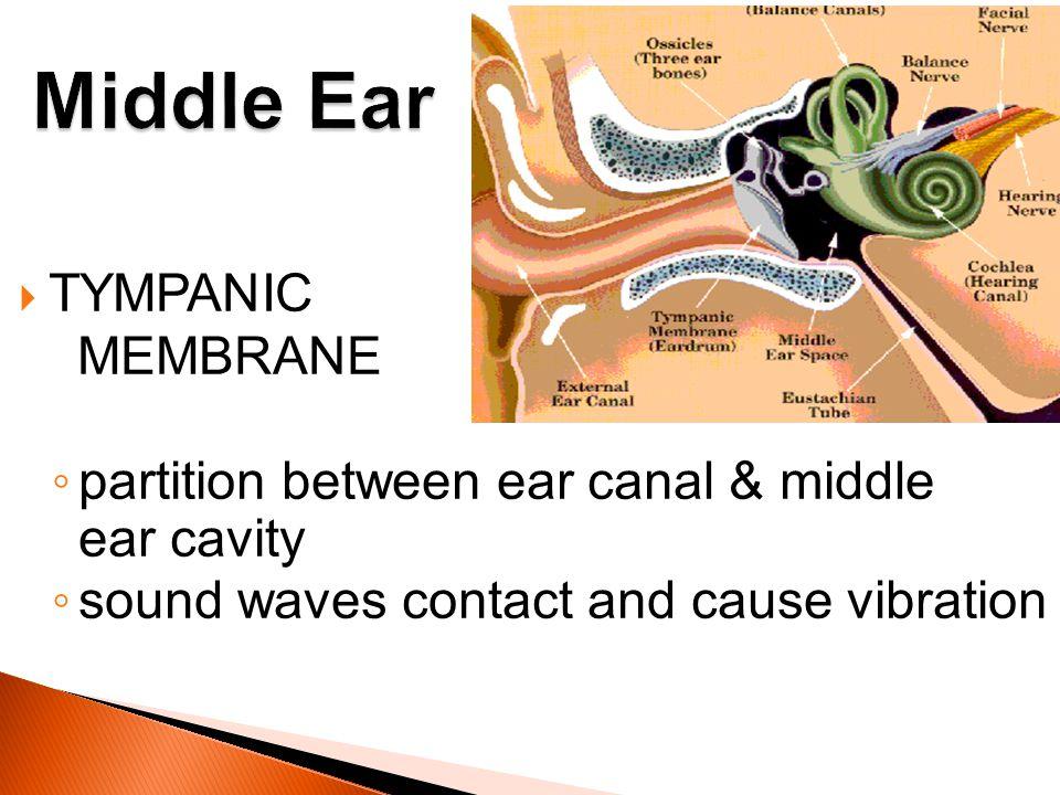 Middle Ear TYMPANIC MEMBRANE