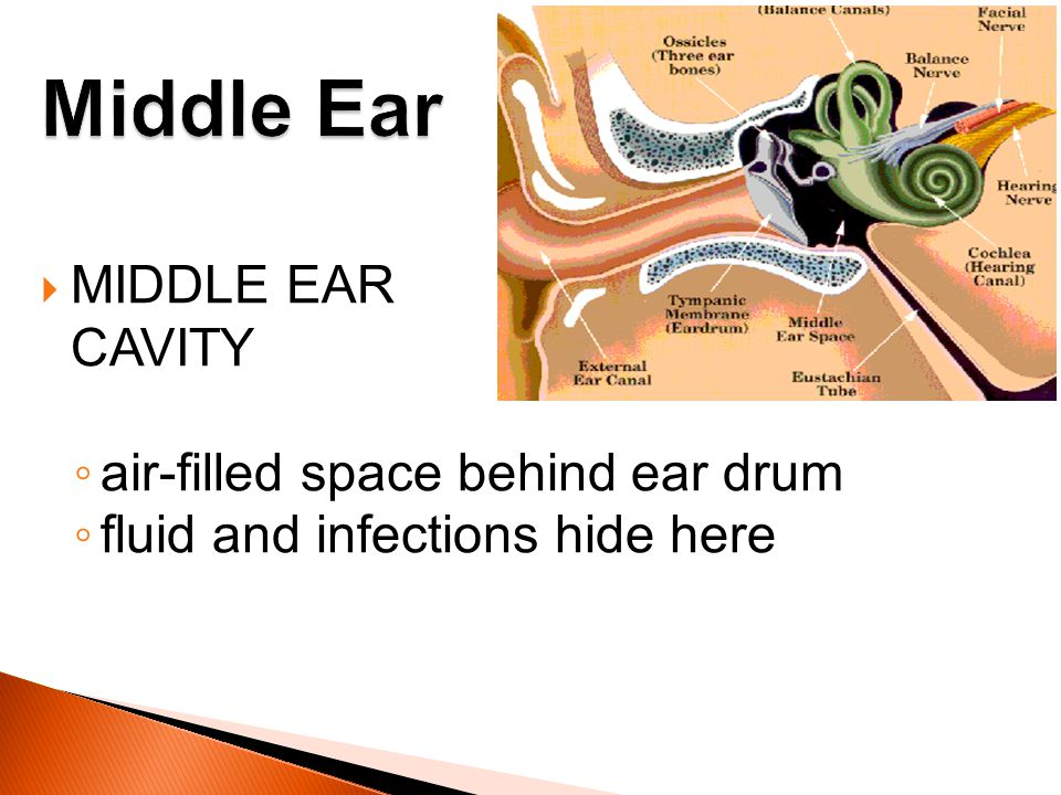 Middle Ear MIDDLE EAR CAVITY air-filled space behind ear drum