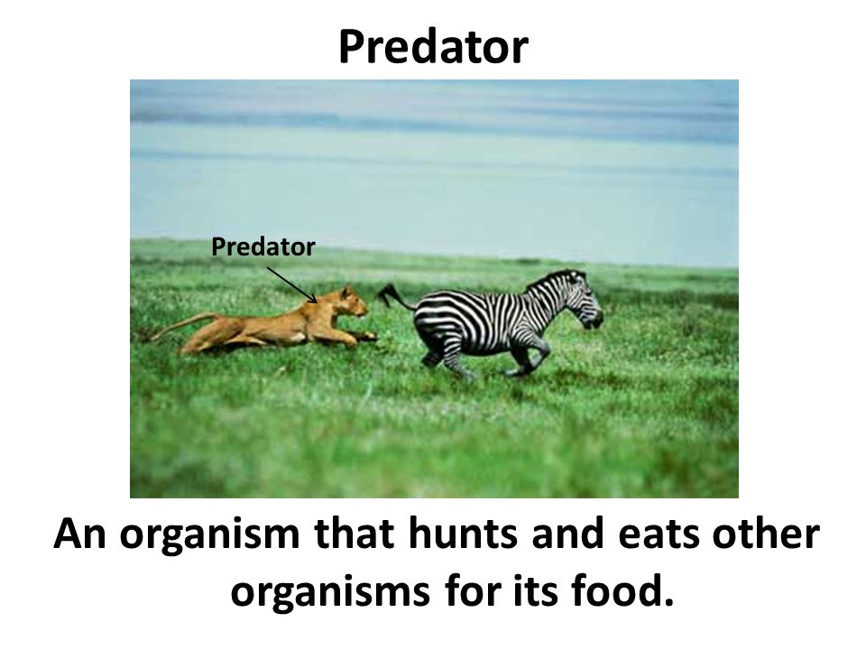 An organism that hunts and eats other organisms for its food.