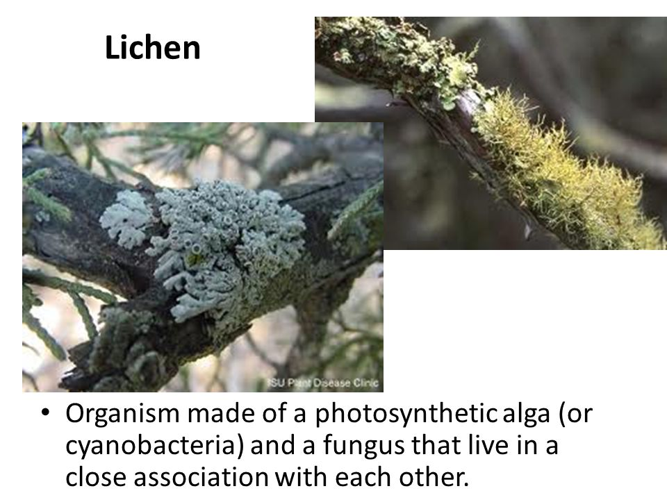 Lichen Organism made of a photosynthetic alga (or cyanobacteria) and a fungus that live in a close association with each other.