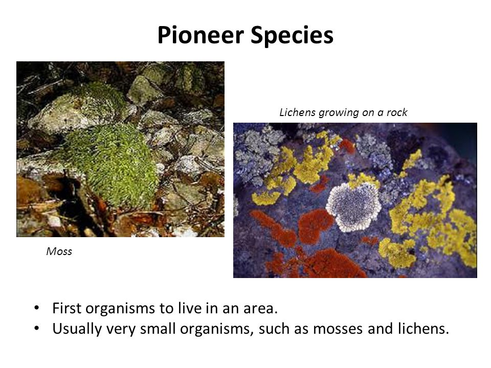 Pioneer Species First organisms to live in an area.