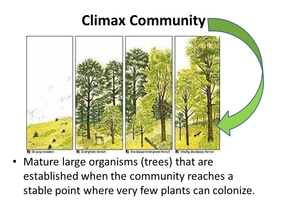 Climax Community Mature large organisms (trees) that are established when the community reaches a stable point where very few plants can colonize.