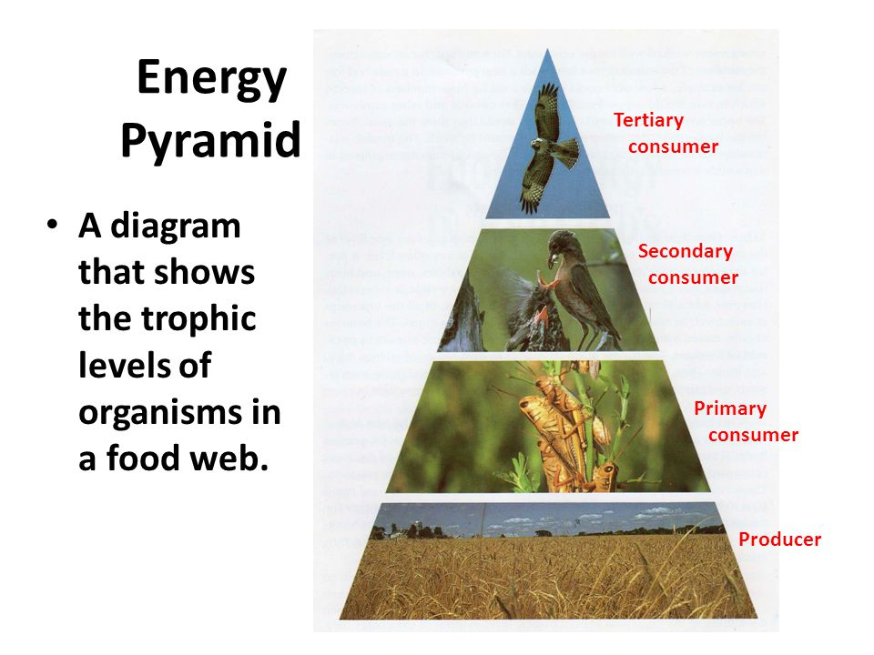 Energy Pyramid Tertiary. consumer. Secondary. Primary.