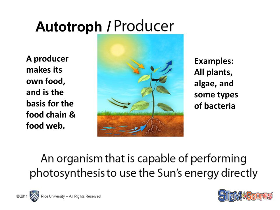 Autotroph / A producer makes its own food, and is the basis for the food chain & food web. Examples: