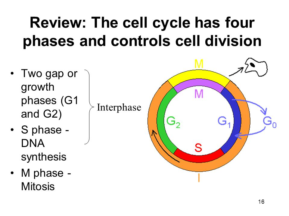 Review: The cell cycle has four phases and controls cell division