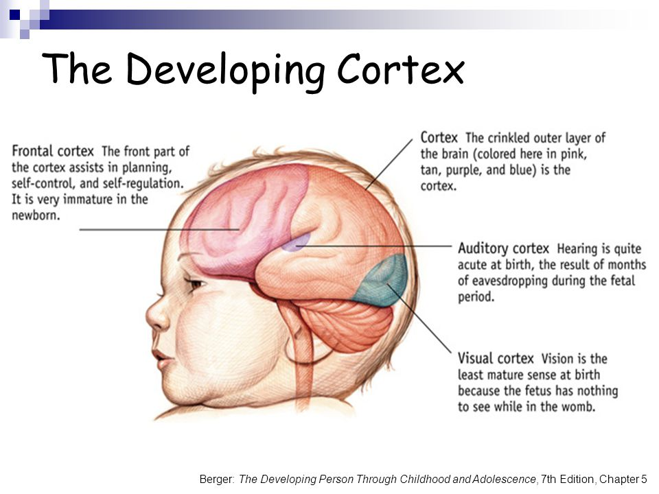 The Developing Cortex