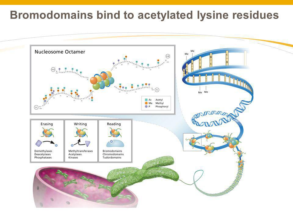 Bromodomains bind to acetylated lysine residues