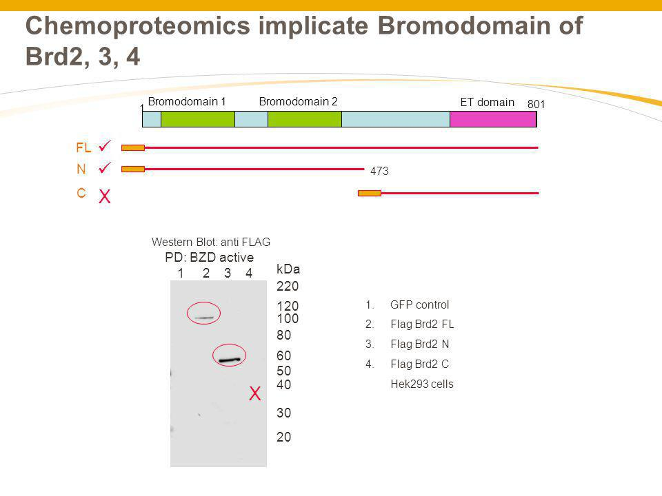 Chemoproteomics implicate Bromodomain of Brd2, 3, 4