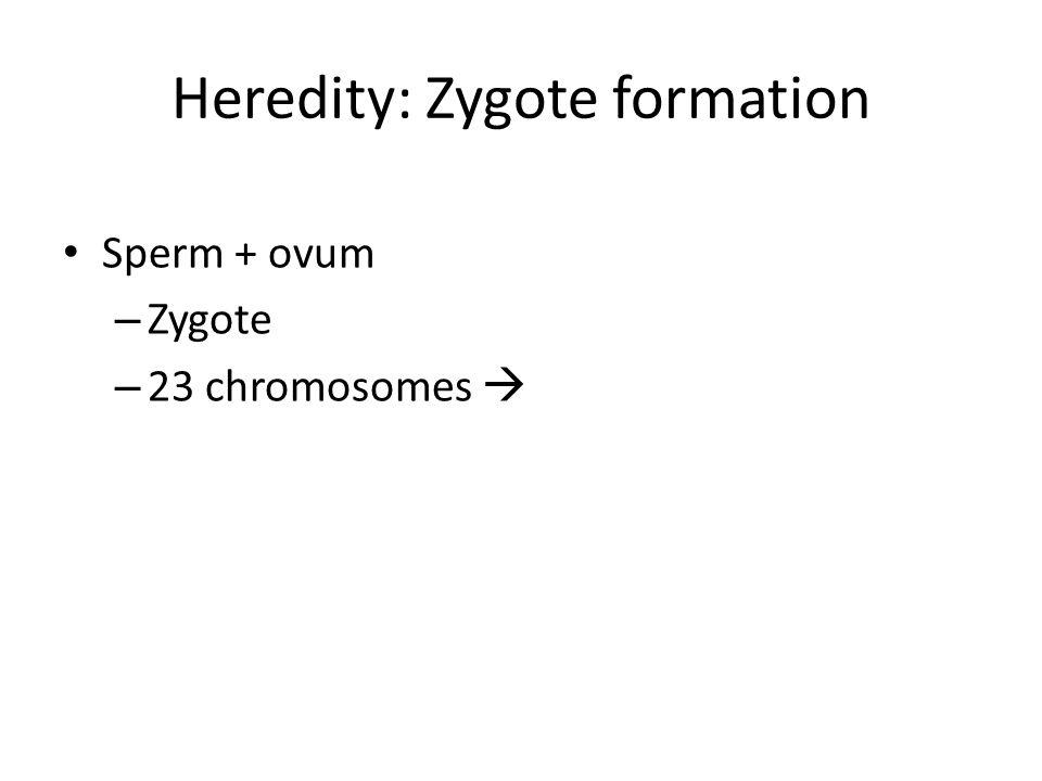 Heredity: Zygote formation