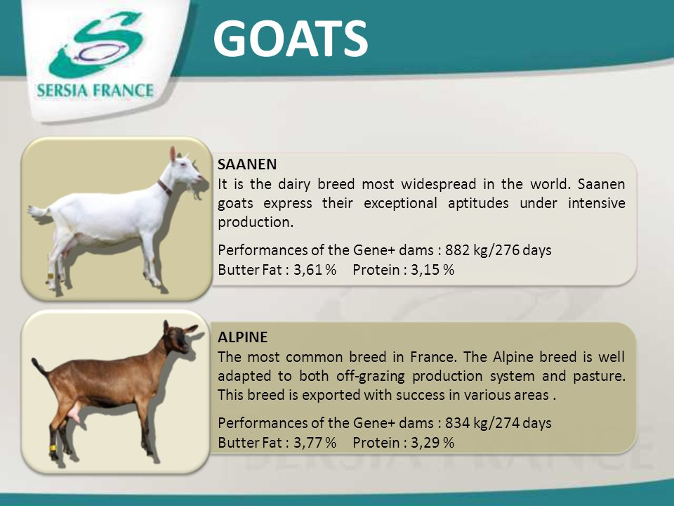 GOATS SAANEN. It is the dairy breed most widespread in the world. Saanen goats express their exceptional aptitudes under intensive production.