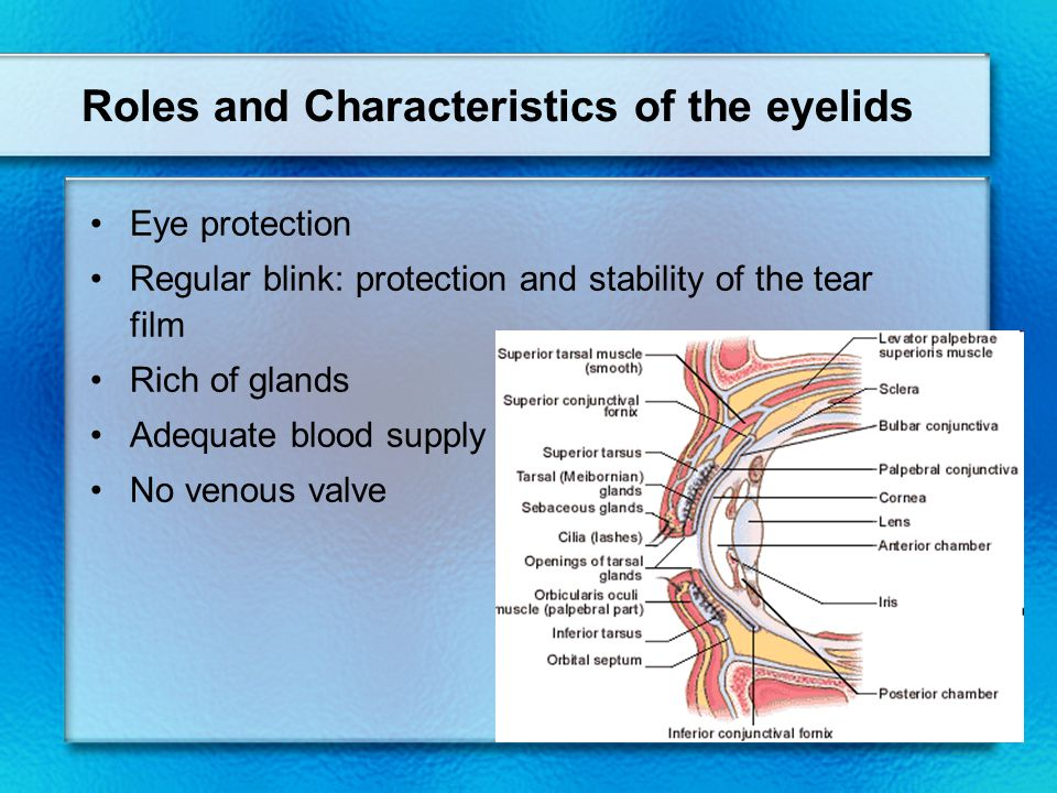 Roles and Characteristics of the eyelids