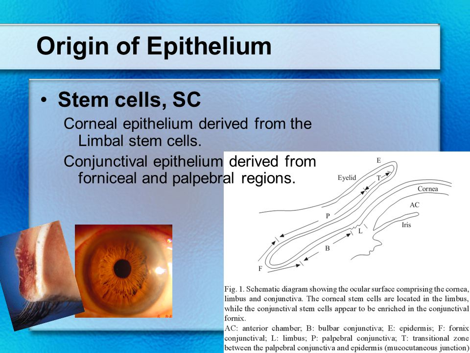 Origin of Epithelium Stem cells, SC