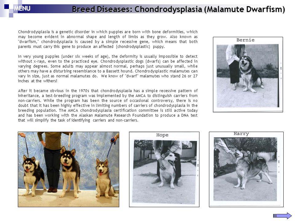 Breed Diseases: Chondrodysplasia (Malamute Dwarfism)